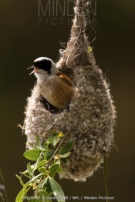 Penduline tit (Remiz pendulinus) male in nest, Germany  -  Dietmar Nill/ npl