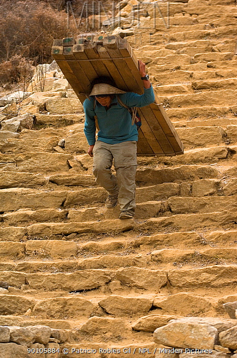 Porter carrying wood with head strap down steps, Sagarmatha National Park, Khumbu, Himalayas, Nepal, December 2007  -  Patricio Robles Gil/ npl