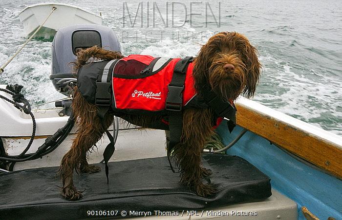 Wet dog wearing a lifejacket onboard a boat  -  Merryn Thomas/ npl
