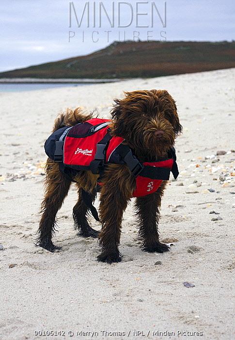 Domestic dog, with lifejacket on a beach  -  Merryn Thomas/ npl