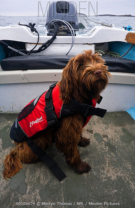 Domestic dog, wearing a lifejacket onboard an Orkney Longliner boat Maisie (3, 4 Tibettan Terrier, 1, 4 Cocker Spaniel) Isles of Scilly, UK  -  Merryn Thomas/ npl