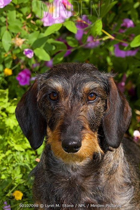 Domestic dog, wire-haired standard Dachshund amongst garden flowers, Gurnee, Illinois, USA (MF)  -  Lynn M. Stone/ npl
