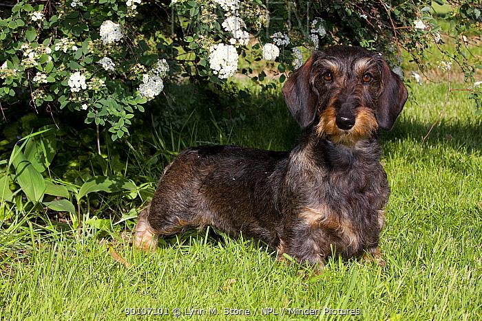 Domestic dog, wire-haired standard dachshund by flowering bush, Illinois, USA (MF)  -  Lynn M. Stone/ npl