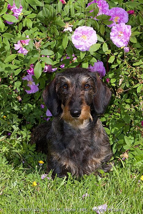 Domestic dog, wire-haired standard dachshund by rose bush, Illinois, USA (MF)  -  Lynn M. Stone/ npl