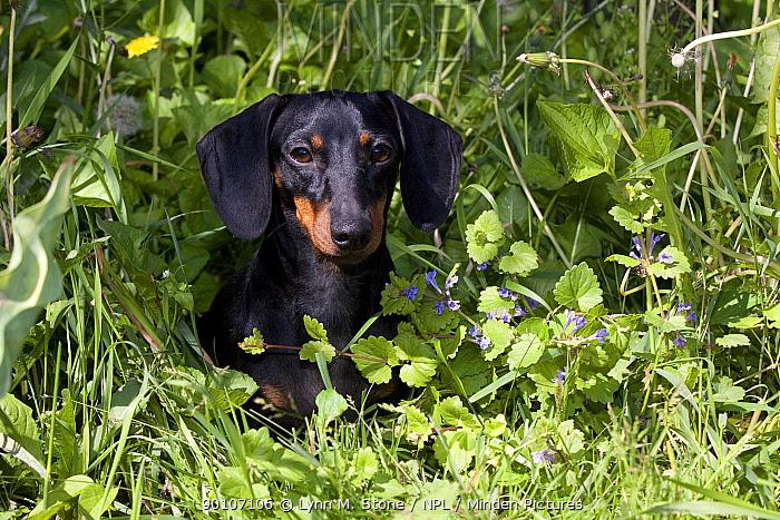 Domestic dog, short-haired miniature dachshund in grass, Illinois, USA (MF)  -  Lynn M. Stone/ npl