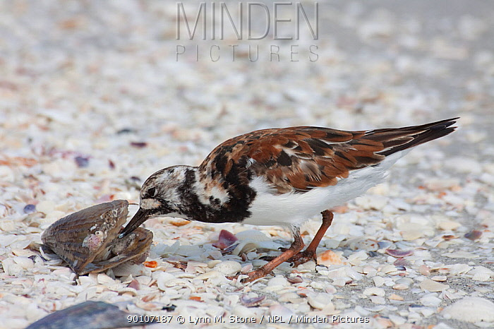 Ruddy Turnstone (Arenaria interpres) foraging on shoreline, feeding on a pen shell (Pinna sp), Sanibel Island, Florida, USA  -  Lynn M. Stone/ npl