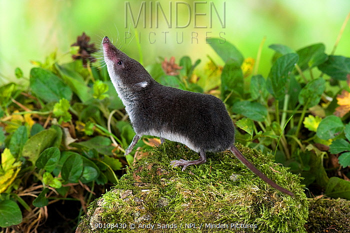 European water shrew (Neomys fodiens) sniffing the air with front legs raised, captive, UK  -  Andy Sands/ npl