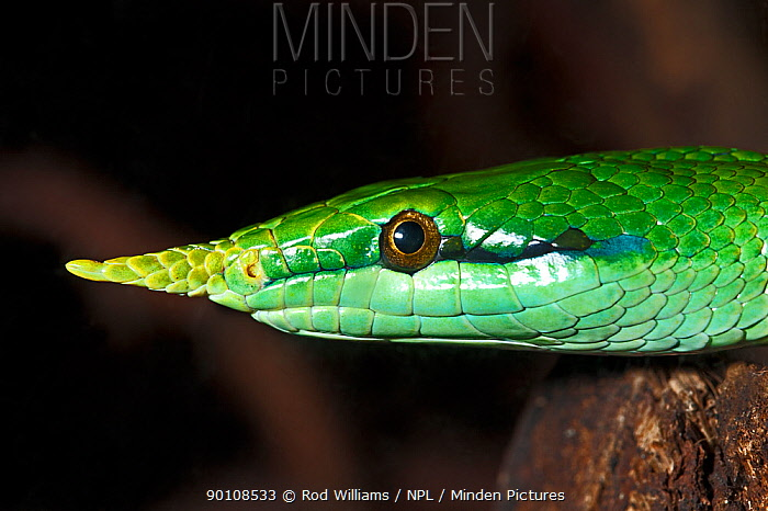 Vietnamese Long-nosed Snake (Rhynchopis boulengeri) captive, from North Vietnam and Southern China  -  Rod Williams/ npl