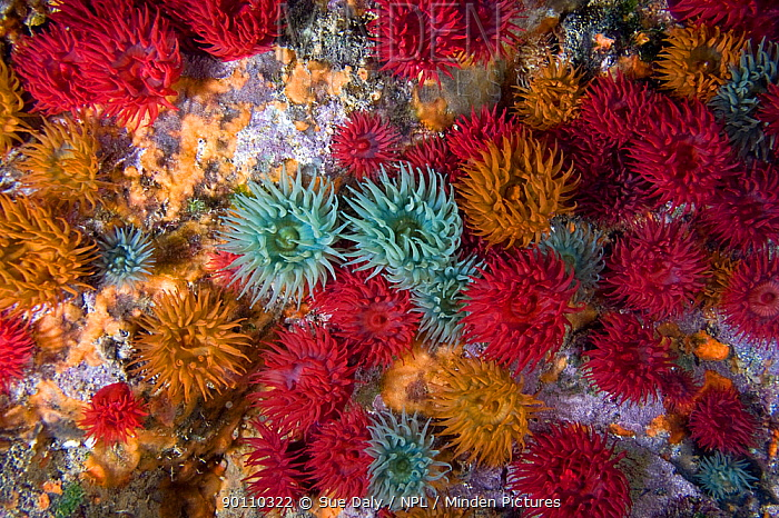 Beadlet anemones (Actinia equina) group underwater showing colour variation, Channel Isles, UK, June  -  Sue Daly/ npl