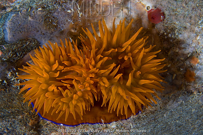 Beadlet anemone (Actinia equina) underwater with tentacles exposed, Channel Isles, UK, June  -  Sue Daly/ npl