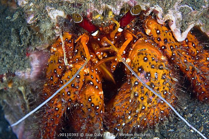 Red hermit crab (Dardanus megistos) Lembeh Straits, Sulawesi, Indonesia  -  Sue Daly/ npl
