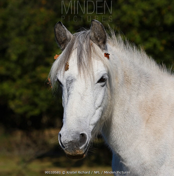 New Forest pony, portrait of a grey mare, New Forest NP, Hampshire, England, 2009  -  Kristel Richard/ npl