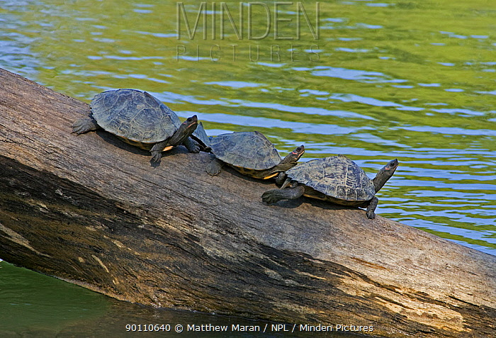 Minden Pictures Stock Photos Three Assam Roofed Turtles