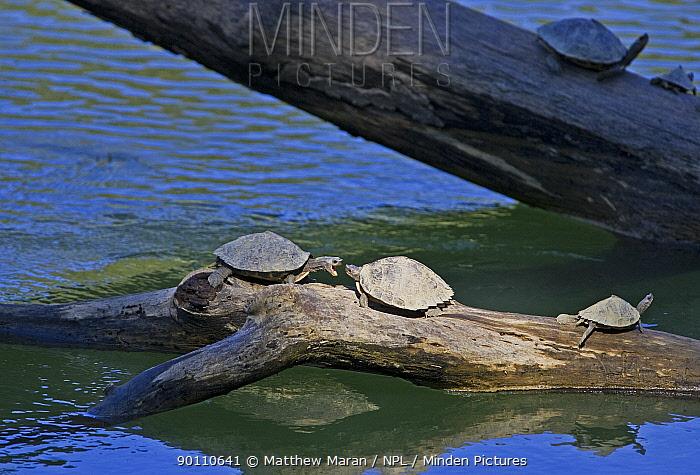 Group of Assam roofed turtles (Kachuga sp) basking on exposed logs above water, Kaziranga National Park, Assam, India  -  Matthew Maran/ npl