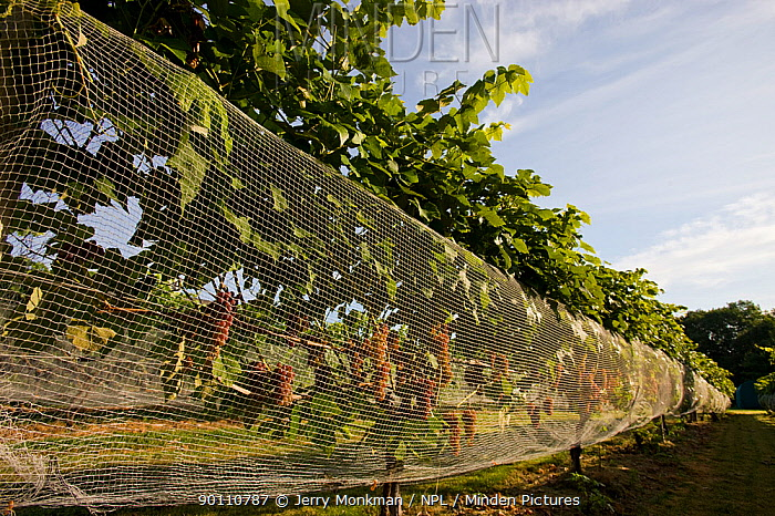 Nets protecting the Grapes (Vitis genus) at Jewell Towne Vineyards in South Hampton, New Hampshire, USA, August  -  Jerry Monkman/ npl