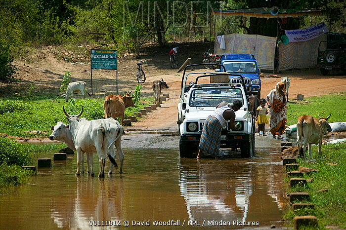 River water being used for cattle to drink and for washing cars, source of life, Madhya Pradesh, India, November 2008  -  David Woodfall/ npl