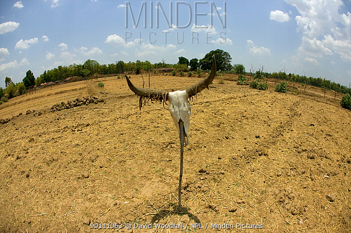 Cattle skull propped up on agricultural land affected by drought, Madyha Pradesh, India, Asia, November 2008  -  David Woodfall/ npl
