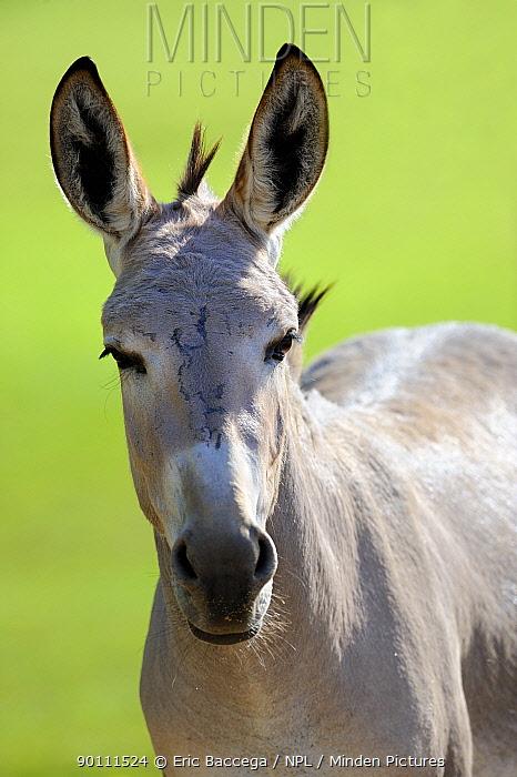 Head portrait of African wild ass (Equus africanu) captive  -  Eric Baccega/ npl