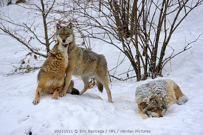 Pack of European grey wolves (Canis lupus) play-fighting, captive Bayerischerwald National Park, Germany  -  Eric Baccega/ npl