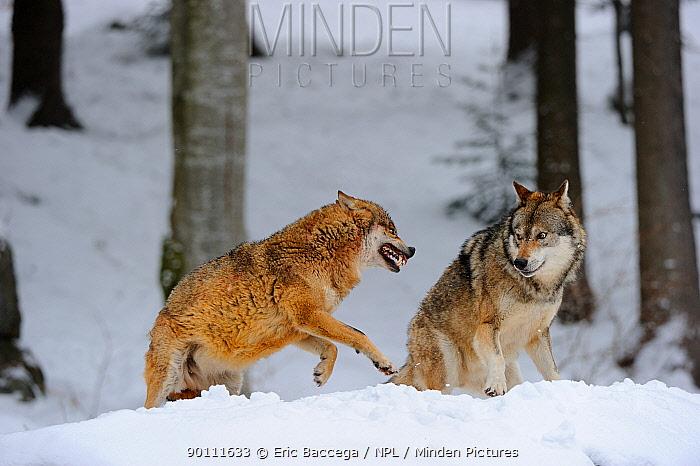 European grey wolves fighting (Canis lupus), captive Bayerischerwald National Park, Germany  -  Eric Baccega/ npl