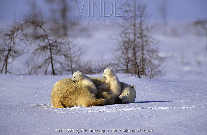 Female Polar bear (Ursus maritimus) resting with two cubs (three months old) in Wapusk National Park Churchill, Manitoba, Canada  -  Eric Baccega/ npl