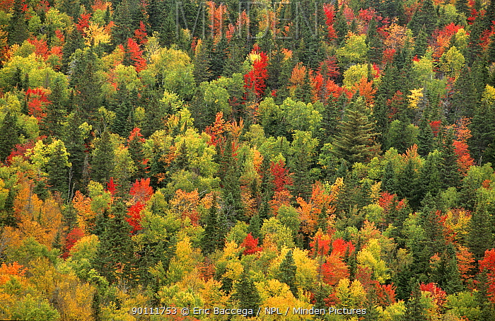 Aerial view of autumn mixed forest tree canopy, Laurentides forest, Quebec, Canada, September 2001  -  Eric Baccega/ npl