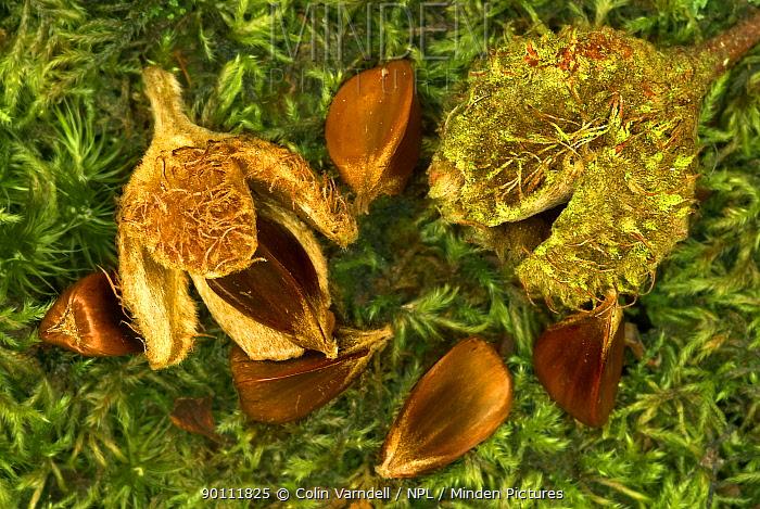 Beech nuts and beechmast of European beech tree (Fagus sylvatica) Dorset, UK, September  -  Colin Varndell/ npl