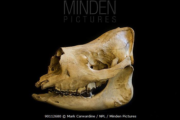 Minden Pictures Stock Photos Sumatran Rhino Dicerorhinus