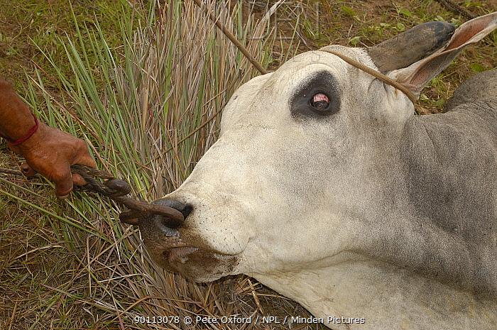 Minden Pictures Stock Photos Pantanal Bull Lassood By Cowboys And