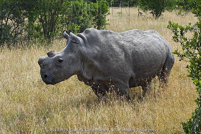 Horn Minden minden pictures stock photos northern white rhinoceros