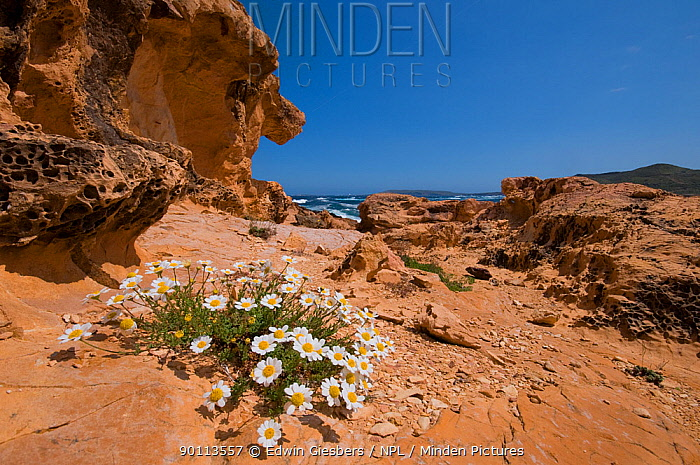 Sea chamomile (Anthemis maritima) in flower near coast, Menorca, Balearic Islands, Spain May 2009  -  Edwin Giesbers/ npl
