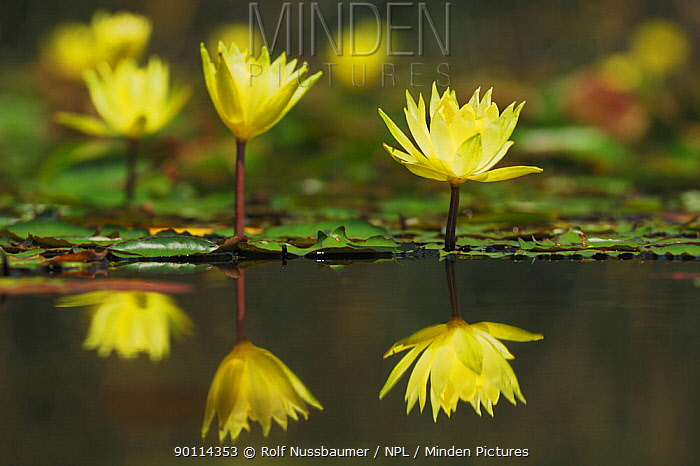 Yellow Waterlily (Nymphaea mexicana) flowers, with reflections, Fennessey Ranch, Refugio, Coastal Bend, Texas, USA  -  Rolf Nussbaumer/ npl