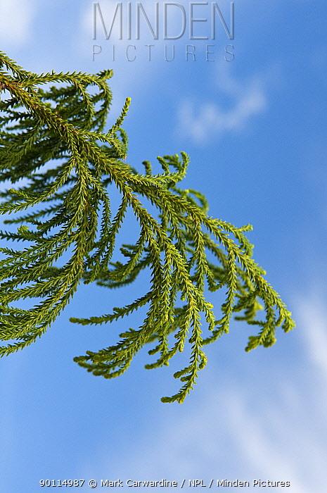 Rimu, Red pine tree (Dacrydium cupressinum)  -  Mark Carwardine/ npl