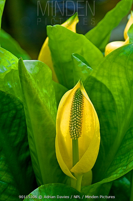 Yellow Skunk Cabbage (Lysichiton americanus) in flower An invasive species which has naturalised in parts of UK  -  Adrian Davies/ npl