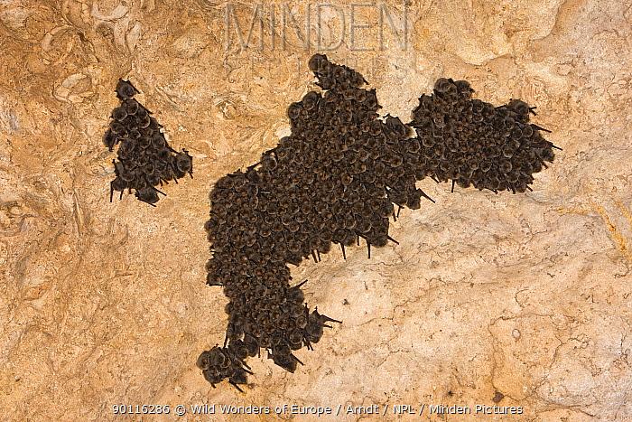 Schreiber's long fingered bat (Miniopterus schreibersi) colony roosting, Grotta Monte Majore, Gennargentu NP, Sardinia, Italy, November 2008  -  WWE/ Arndt/ npl