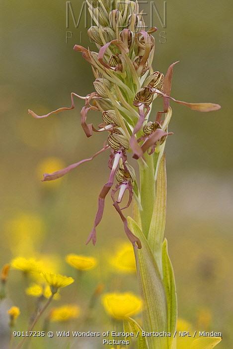Lizard orchid (Himantoglossum hircinum) Gargano National Park, Gargano Peninsula, Apulia, Italy, May 2008  -  WWE/ Bartocha/ npl