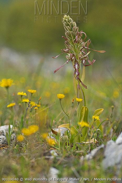 Lizard orchid (Himantoglossum hircinum) Gargano NP, Gargano Peninsula, Apulia, Italy, May 2008  -  WWE/ Muller/ npl