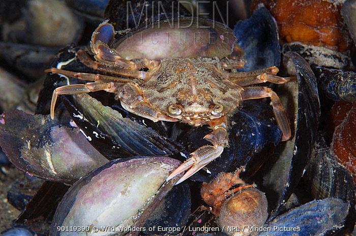 Swimming, Harbour crab (Liocarcinus depurator) Lofoten, Norway, November 2008  -  WWE/ Lundgren/ npl