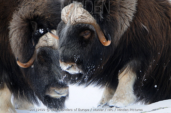 Two Muskox (Ovibos moschatus) in snow, Dovrefjell National Park, Norway, February 2009 Not to be supplied to Italian magazines or newspapers until 25th October 2010  -  WWE/ Munier/ npl