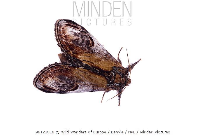 Moth (Notodonta ziczac) Fliess, Naturpark Kaunergrat, Tirol, Austria, July 2008  -  WWE/ Benvie/ npl