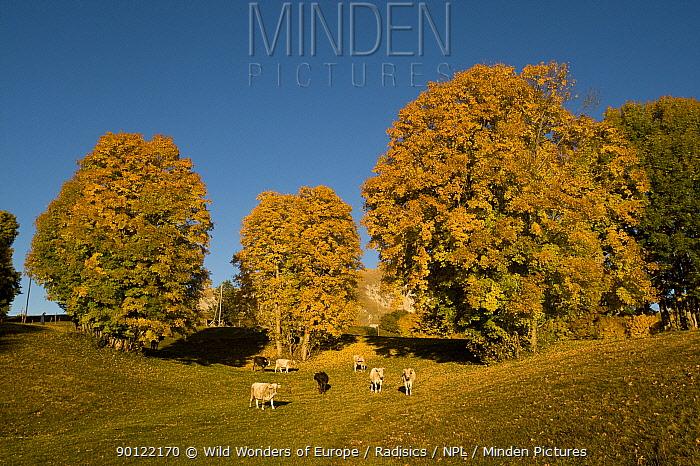 Cows in pasture, Durmitor Plateau, Durmitor NP, Montenegro, October 2008  -  WWE/ Radisics/ npl