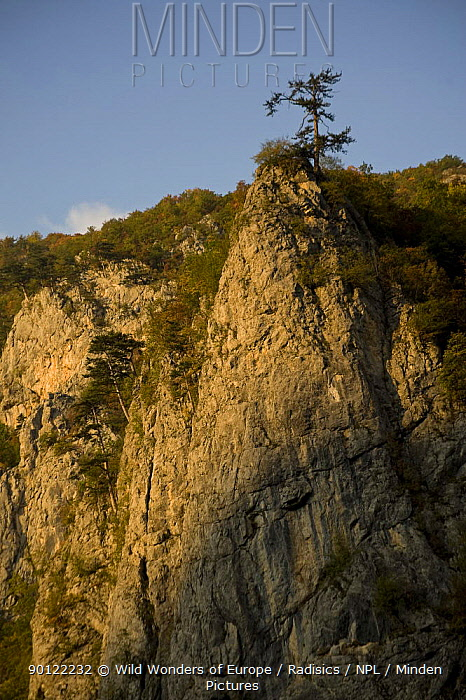 Black pine (Pinus nigra) on cliff top, Tara Canyon, Durmitor NP, Montenegro, October 2008  -  WWE/ Radisics/ npl