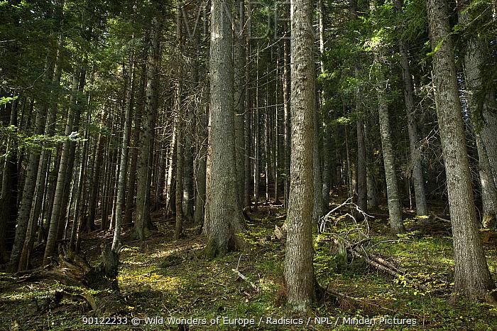 Forest near Zmijinje Lake, Durmitor NP, Montenegro, October 2008  -  WWE/ Radisics/ npl