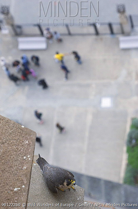 Peregrine falcon (Falco peregrinus) perched on ledge, Sagrada familia, Barcelona, Spain, April 2009  -  WWE/ Geslin/ npl