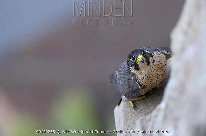 Peregrine falcon (Falco peregrinus) perched on building looking up, Barcelona, Spain, April 2009  -  WWE/ Geslin/ npl