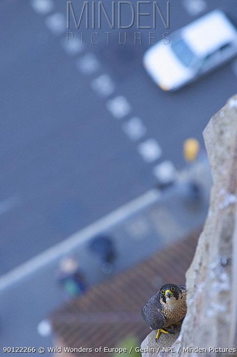 Looking down to road and Peregrine falcon (Falco peregrinus) perched on Sagrada Familia, Barcelona, Spain, April 2009  -  WWE/ Geslin/ npl