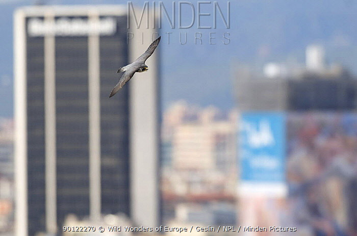 Peregrine falcon (Falco peregrinus) in flight, Barcelona, Spain, April 2009  -  WWE/ Geslin/ npl
