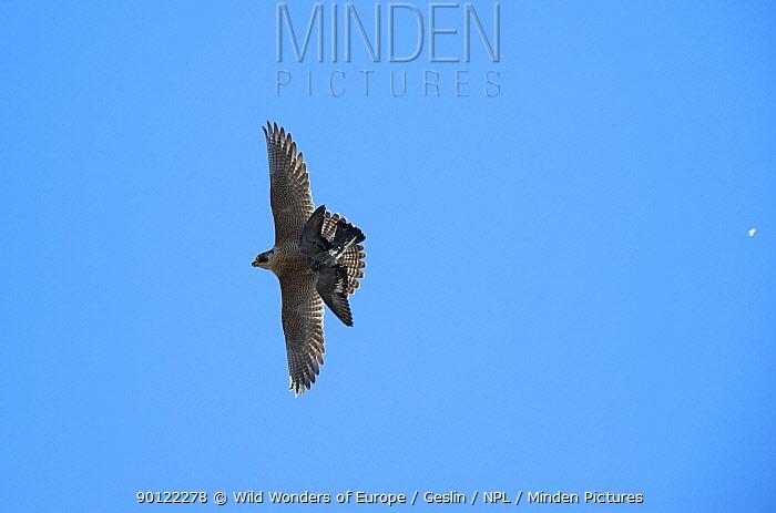 Peregrine falcon (Falco peregrinus) in flight carrying prey, Barcelona, Spain, April 2009  -  WWE/ Geslin/ npl