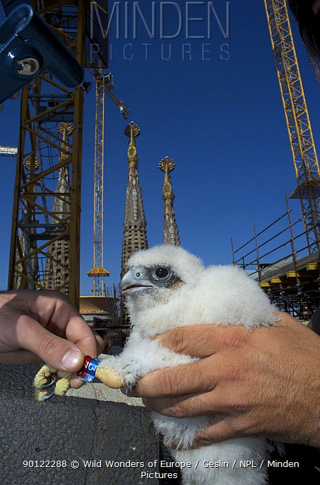 Peregrine falcon (Falco peregrinus) chick with new rings, Sagrada familia cathedral, Barcelona, Spain, April 2009  -  WWE/ Geslin/ npl