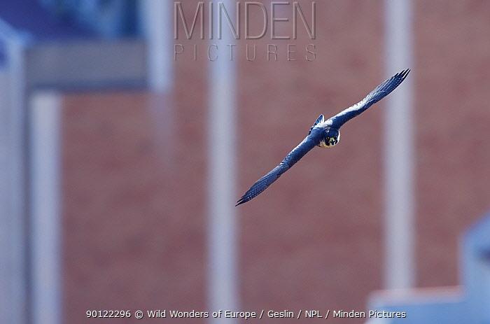 Peregrine falcon (Falco peregrinus) in flight, Barcelona, Sagrada familia cathedral, Spain, April 2009  -  WWE/ Geslin/ npl